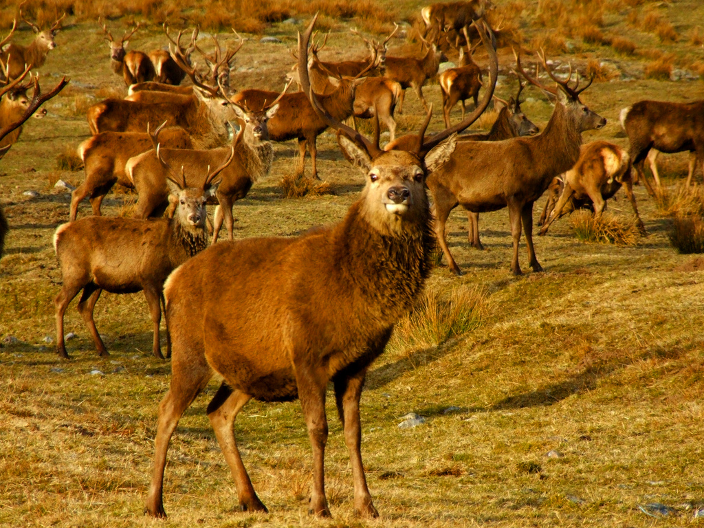 Red Deer on the Alcan estate Scotland. Image: Keith Laverack